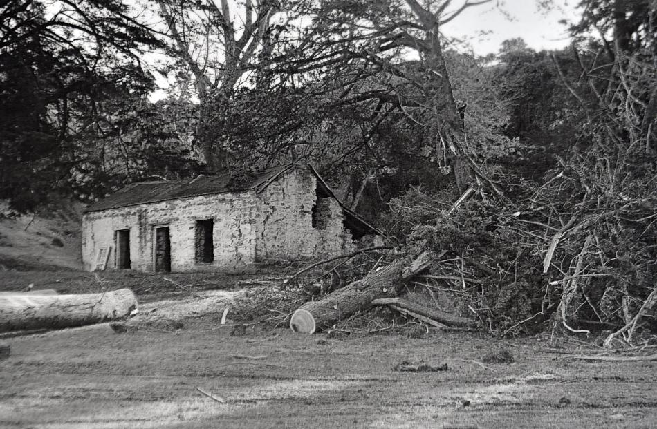Seven macrocarpas were felled because they were leaning over towards the cottage, which was in...