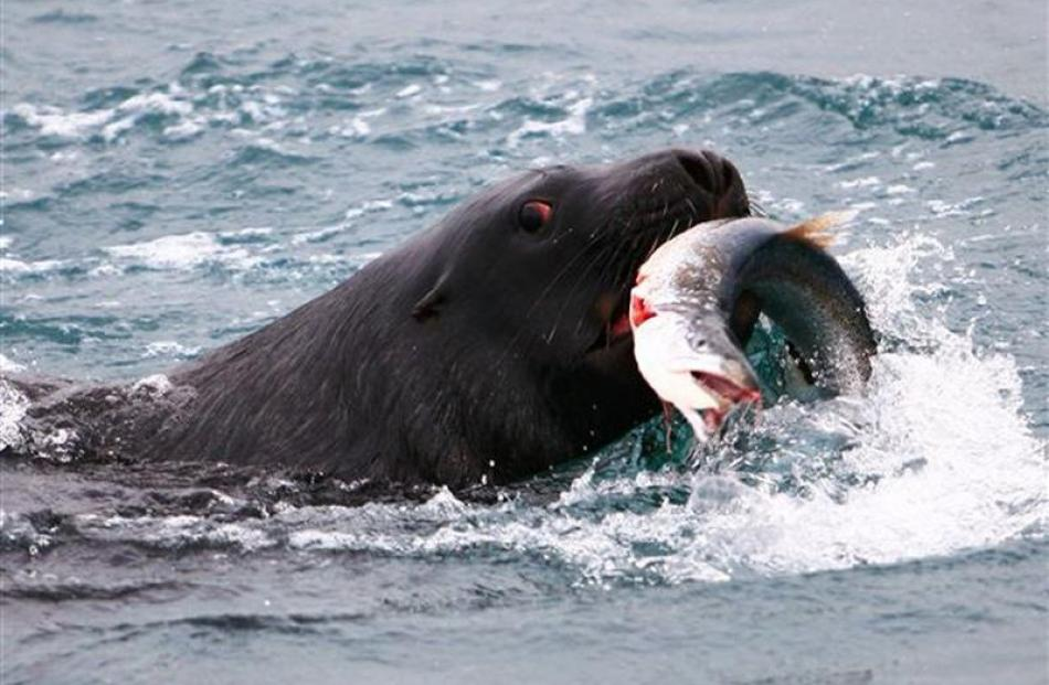 A sea lion catches a salmon in Otago Harbour. Photo by Monarch Wildlife Cruises.