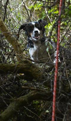 Hero, the 7-year-old Smithfield collie, waits to be rescued from tree branches halfway down a 30m...