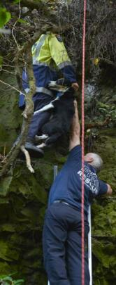 Willowbank Firefighters Tony Gyde (top, centre) and Alan McNeill rescue Hero  from tree branches...