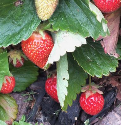 Strawberries grow at the front of the main bed.