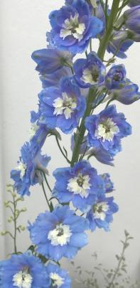 A delphinium adds height at the back of the garden.
