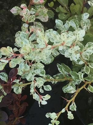 Silver Beauty is a mid-sized (1m) Berberis thunbergii cultivar.