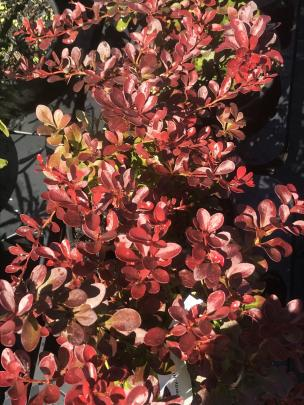 Little Favourite is a small (60cm) cultivar bred from purple Japanese barberry. PHOTOS: GILLIAN VINE