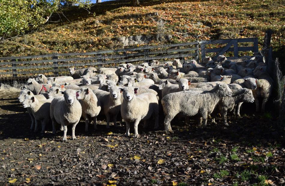 A flock of Southdown sheep at Riverside stud last week.