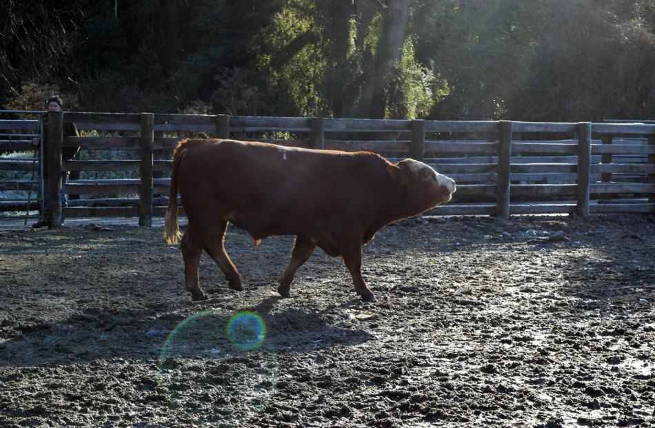 Bull Leafland 190114 fetched the top price of $11,500 — paid by Jon Knauf, of Kerrah Simmentals,...