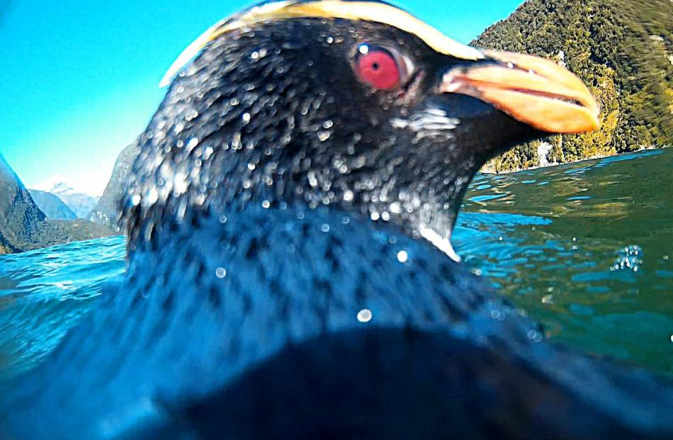 A tawaki equipped with an underwater camera mounted on its back captures a selfie in Milford...