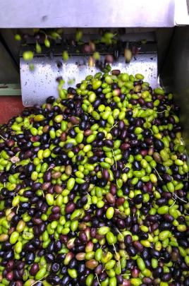 Freshly picked olives emptying into the press hopper.