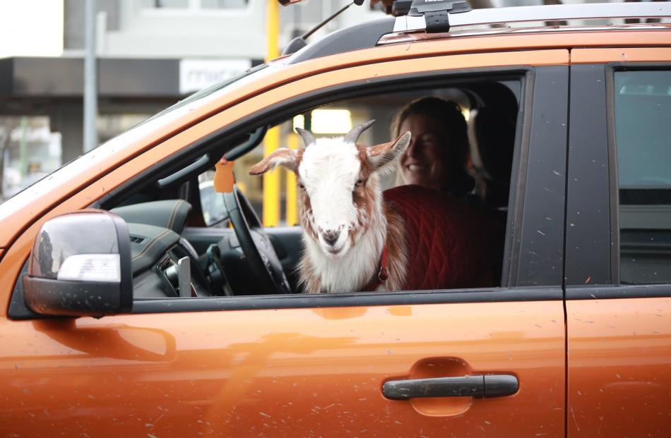 A goat looks out the window as its owner Alice Perry takes part in the protest in Oamaru.PHOTO:...