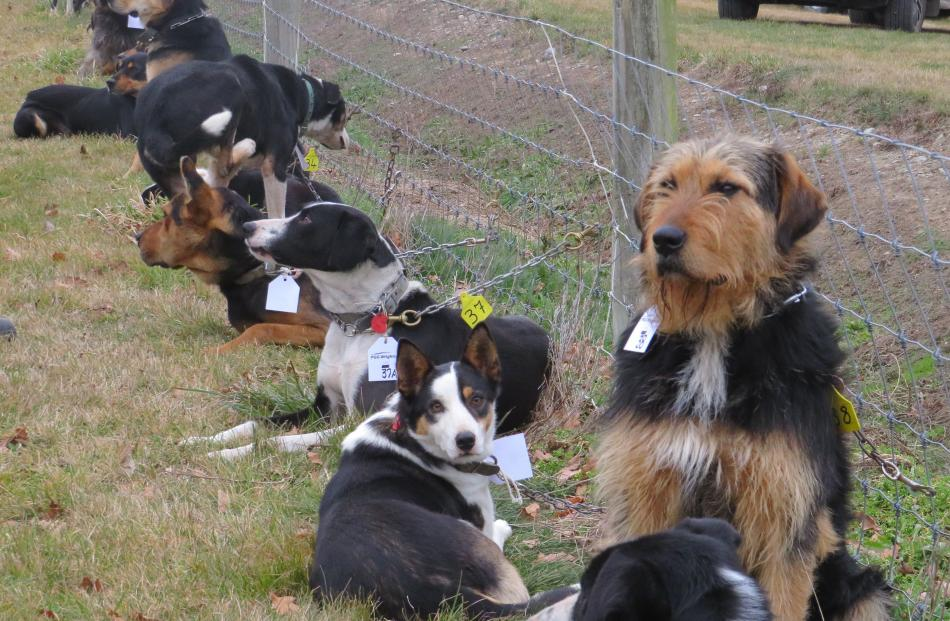 Working dogs line up to be viewed before the auction.