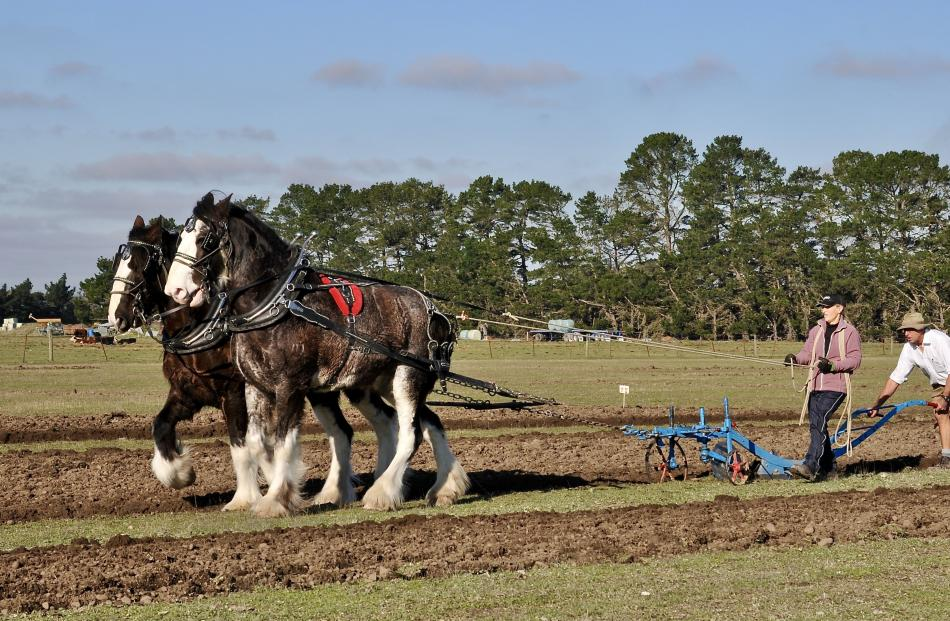 John and Sharon Chynoweth, of Oxford, ploughing with their Clydesdales Blue and Flash.