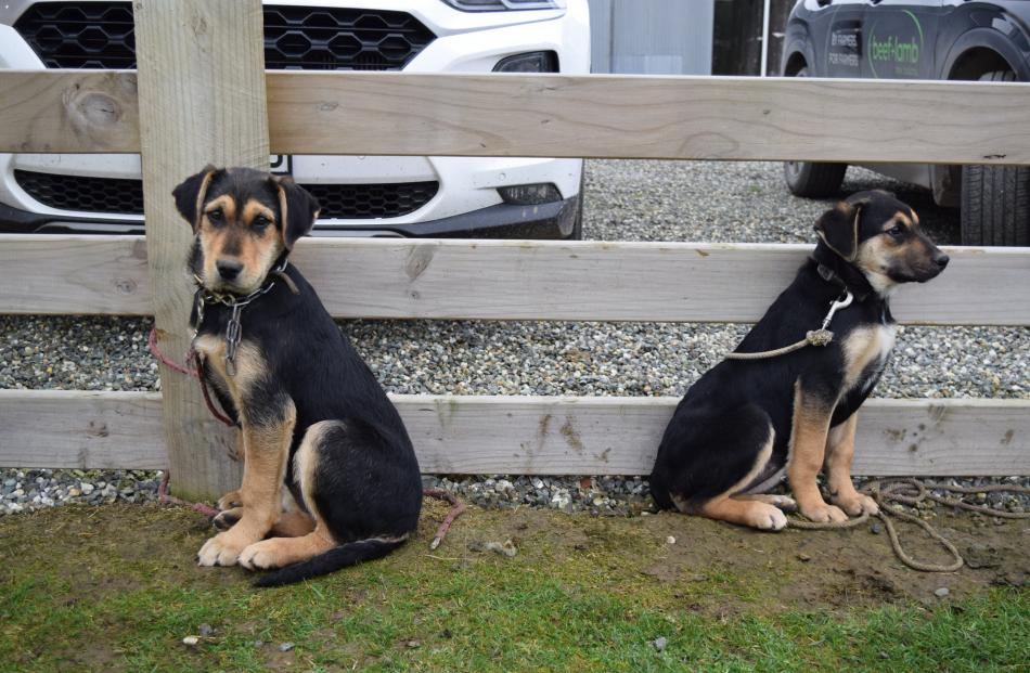 Huntaway pups wait to be auctioned at the sale.