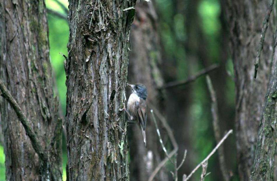 A brown creeper in the kanuka forest at Orokonui.  Photo by Neville Peat.