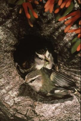 The rifleman typically nests in tree holes. Photo by Rod Morris.
