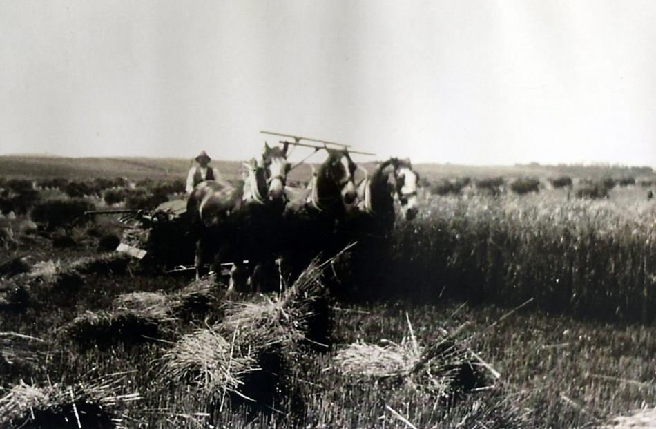 William Lawrence cuts oats on his farm in the 1930s. PHOTOS: SUPPLIED