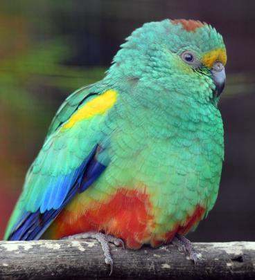 A mulga parrot