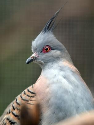 A crested bronzewing pigeon