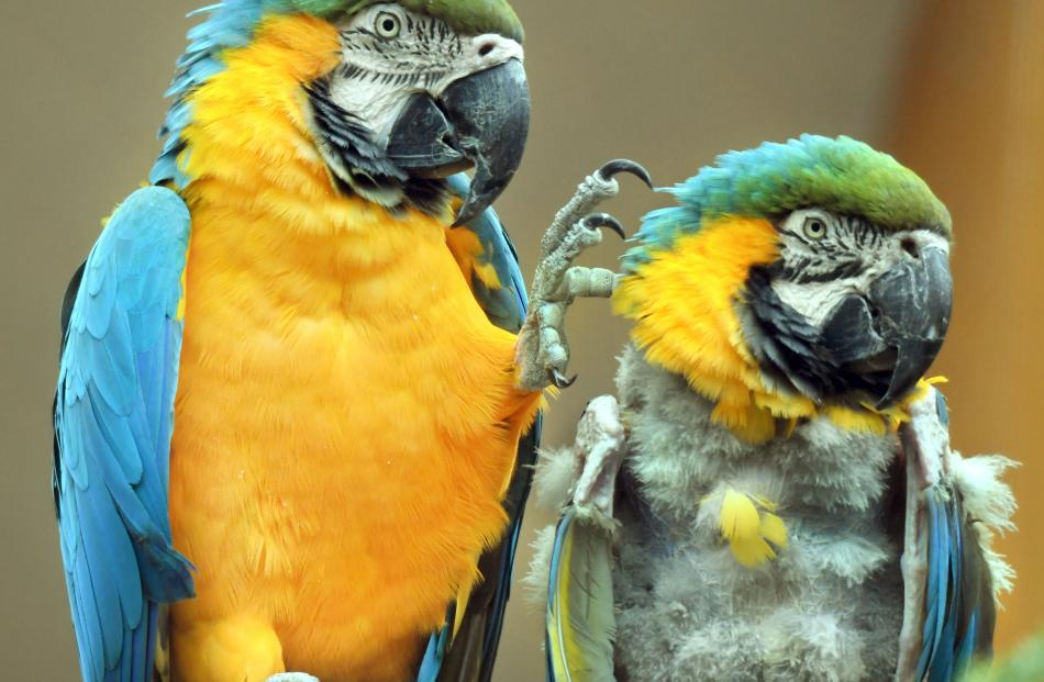 Macaws including an adult blue and yellow one (left) and chick