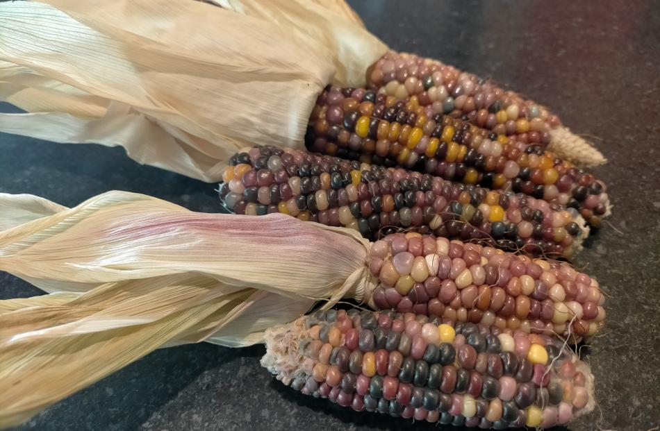 Flint corn can be harvested once the plants have dried off. The corn is then shucked and left to...