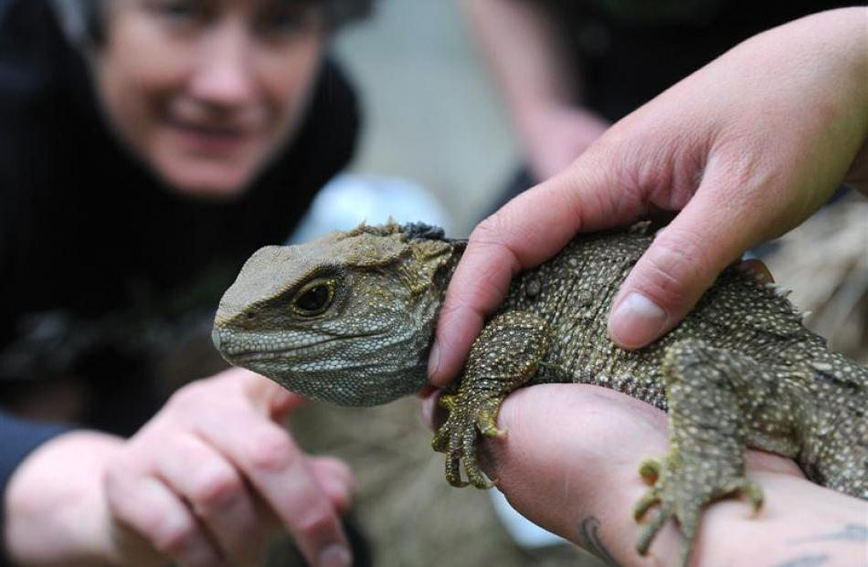 Associate Prof Alison Cree with an adult male tuatara released in the Orokonui Ecosanctuary...