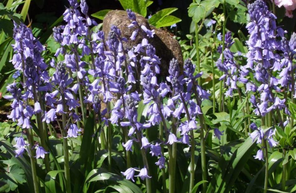 Bluebells flourish under trees.