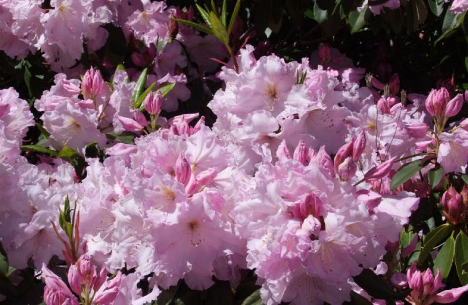 Each year Rhododendron Loderi Venus is smothered with pale pink flowers. Photos by Gillian Vine.