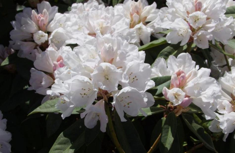 Helene Schiffner is one of Sue Carey-Smith's favourite rhododendrons.