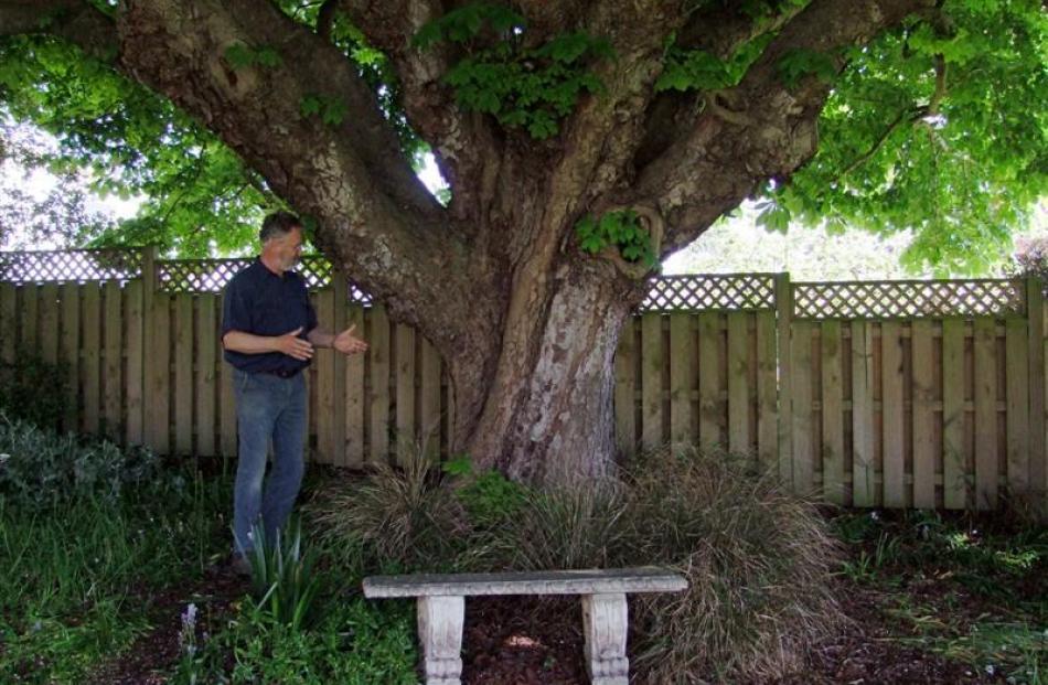 Bill Lang beneath the spreading chestnut tree. Photos by Gillian Vine.