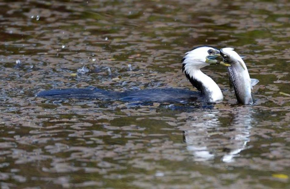A little shag takes a fish from the duck pond at the Dunedin Botanic Garden.