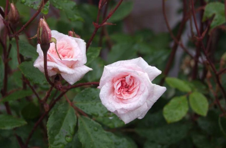 Cécile Brunner, originally bred in France in 1881, is a popular heritage rose. Photos by Gillian...