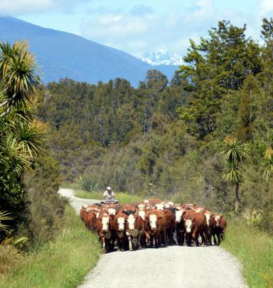 Mr Nolan drives a mob of home-bred cattle on their short trip to the Turnbull saleyards.