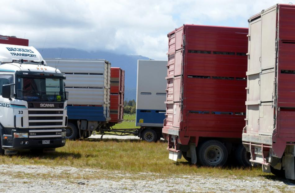 Stock trucks gather for loading at the conclusion of the sale.
