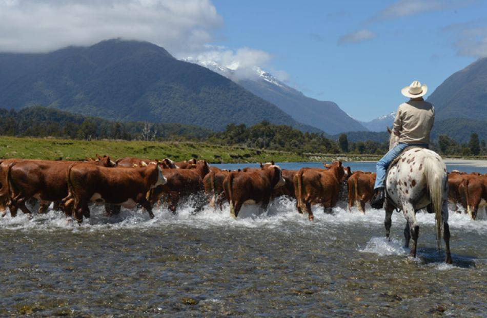 John (J.J) Nolan, of Haast, riding Spot, fords the Okuru River on Thursday while bringing in a...