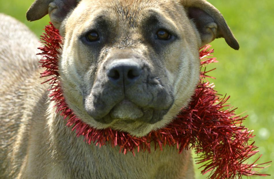 Owner wanted  . . .  This mastiff-named Miss is looking for an owner this Christmas, via Dunedin...