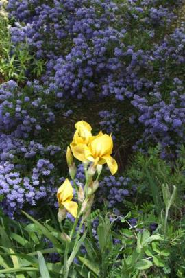 An old bearded iris, Lunar Gold, stands out against blue-flowered Californian lilac (Ceanothus).