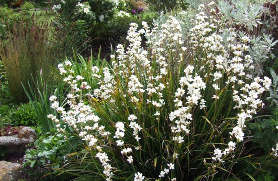 New Zealand native Libertia grandiflora is a member of the Iridaceae (iris) family.