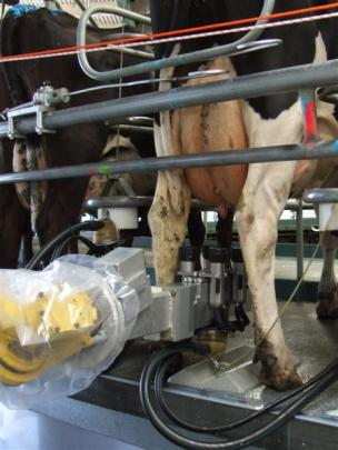 Cups are placed on a cow robotically at a rotary shed owned by Rangitata Dairies Ltd at Rangitata...