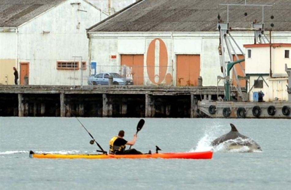 A pod of bottlenose dolphins plays and feeds in Otago Harbour yesterday near kayaker Paul Hannah