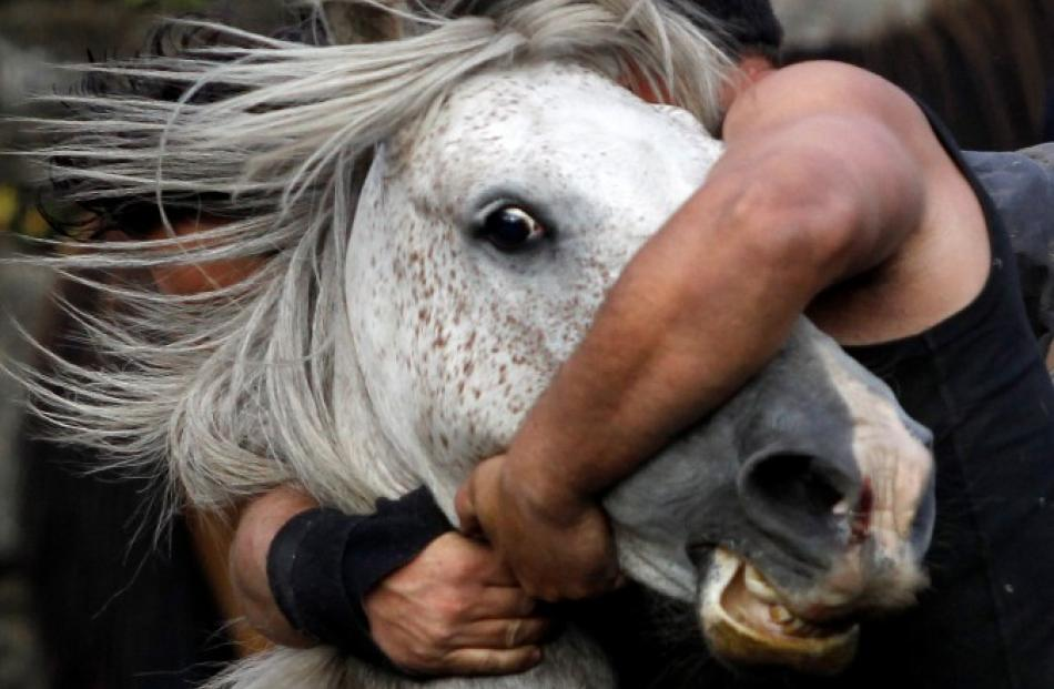 A reveller tries to hold on to a wild horse during the 'Rapa Das Bestas' traditional event in the...