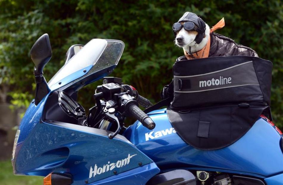 Ruby at home on her owners motorbike.