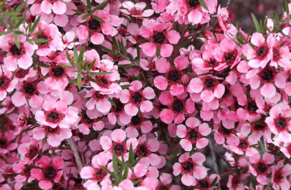 10. Manuka (Leptospermum scoparium); from $15.