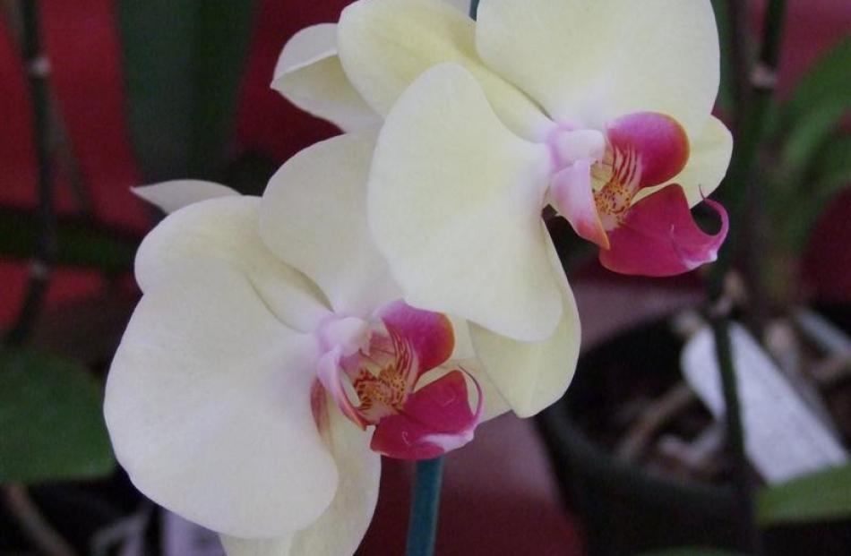 11. Orchids; $39.99 from a range at Wal's Plant Land, Mosgiel.