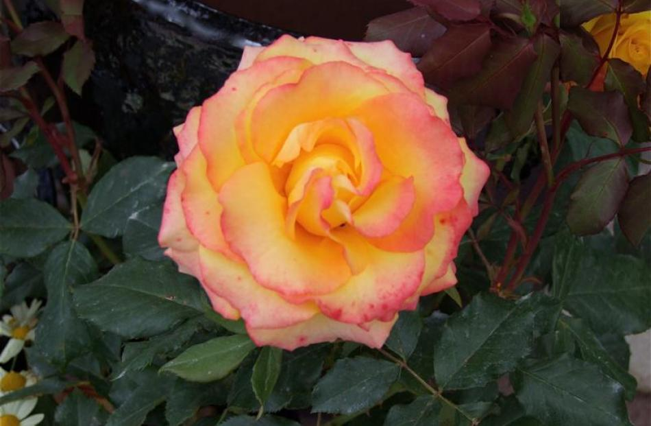 12. Tequila Sunrise rose; Available as a bush at $29.90 from Blueskin Nurseries, Waitati.