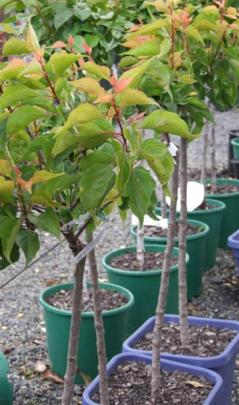 7. Topiary apricots; $45 each from Wal's Plant Land, Mosgiel