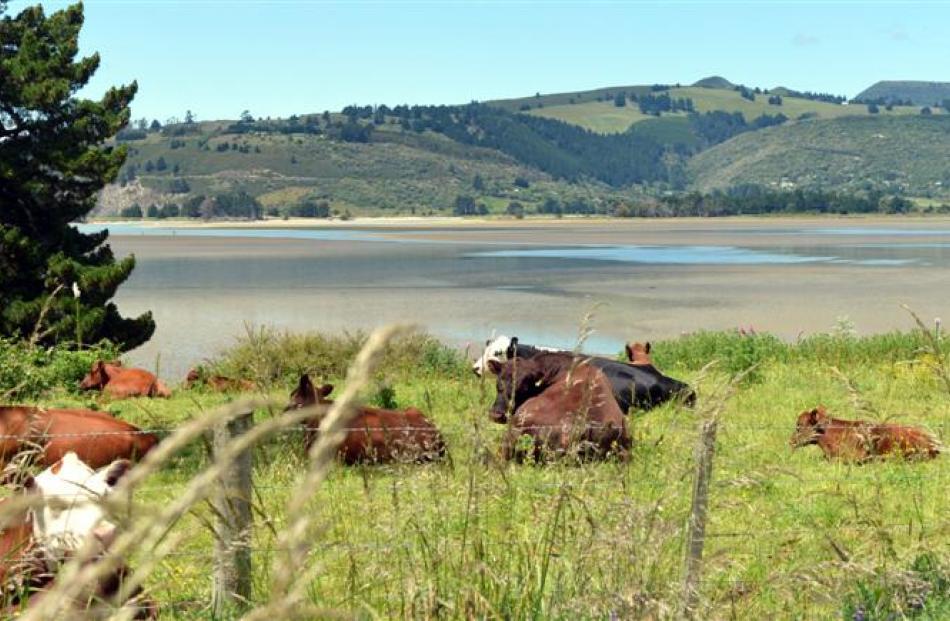 Cattle relax in a paddock overlooking Blueskin Bay, near Warrington.