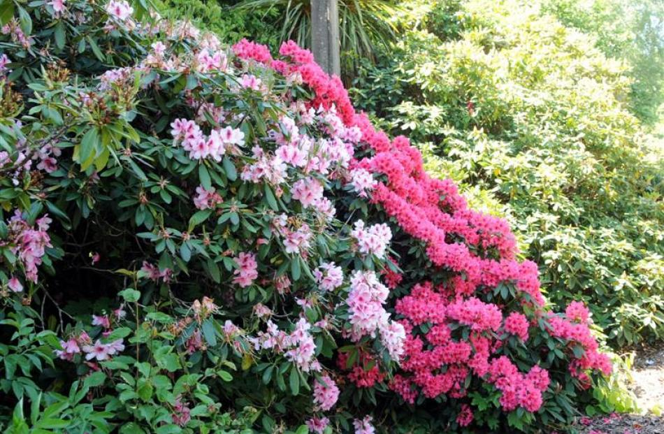 These rhododendrons are fertilised with the worm casts from the airport's effluent system.