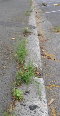 Weeds spotted on York Pl yesterday afternoon. Photos by Craig Baxter.