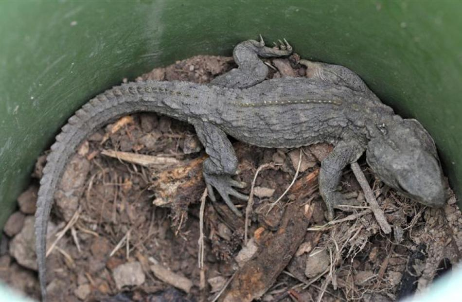 One of two tuatara in the enclosure. Photos by Jane Dawber.