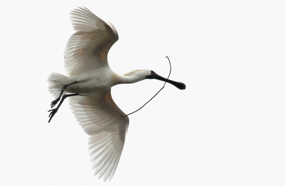 Natural History Prints  Champion:  Glenda Rees, Gore  'Royal Spoonbill (Platalea regia)'