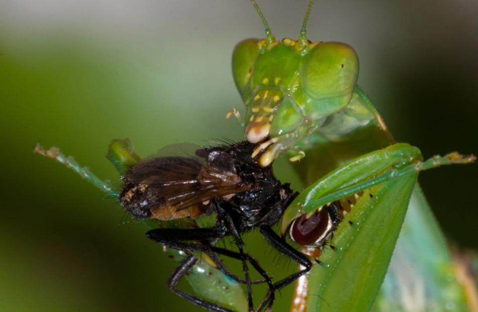 Natural History Prints  Honours:  Chris Helliwell, Wellington  'Praying Mantis'